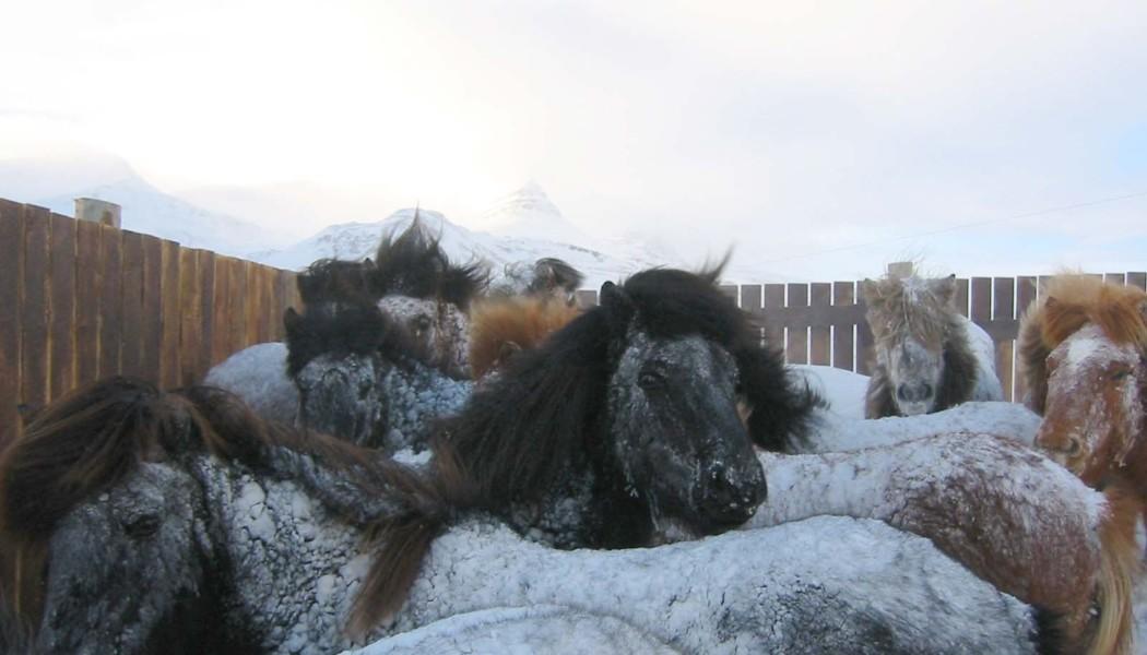 Rund 100 Island-Pferde starben im Dezember durch einen heftigen Wintersturm.