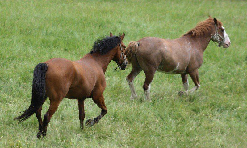 Soll man die Pferde nun einfach auf die Weide stellen? Corona-Virus in der Schweiz. © Can Stock Photo / pontuse