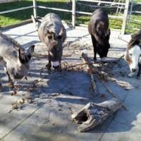 Der Esel leidet stumm, weshalb seine Not oft sehr spät erkannt wird
