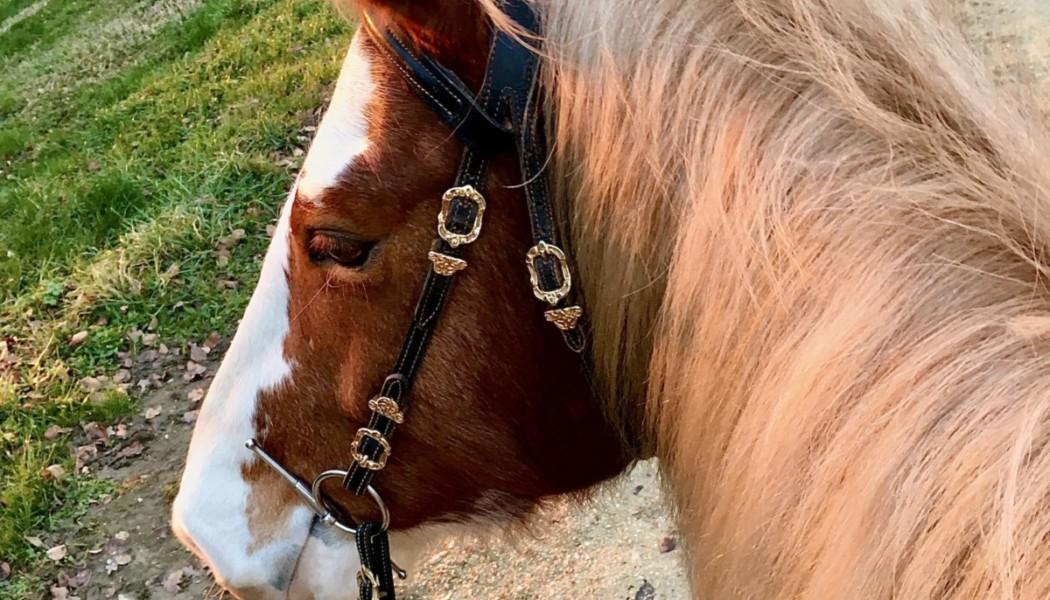 Sanftmütig und stark – unsere Freibergerpferde