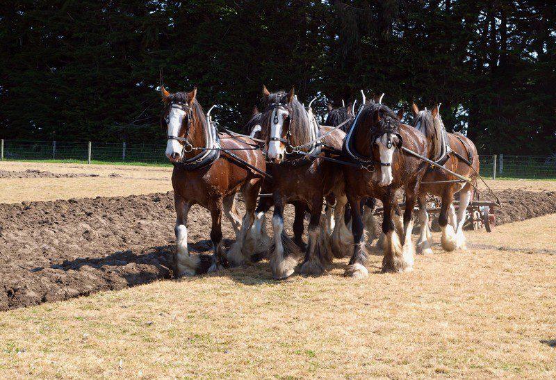 Sechs Clydesdale-Pferde beim Pflügen. canstockphoto by Kapai