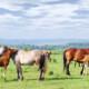 Schweizer Pferdezucht, Fohlen. © Can Stock Photo / goce