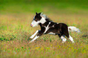 Welches ist das süsseste Pony der Schweiz? (Can Stock Photo by Callipso88)