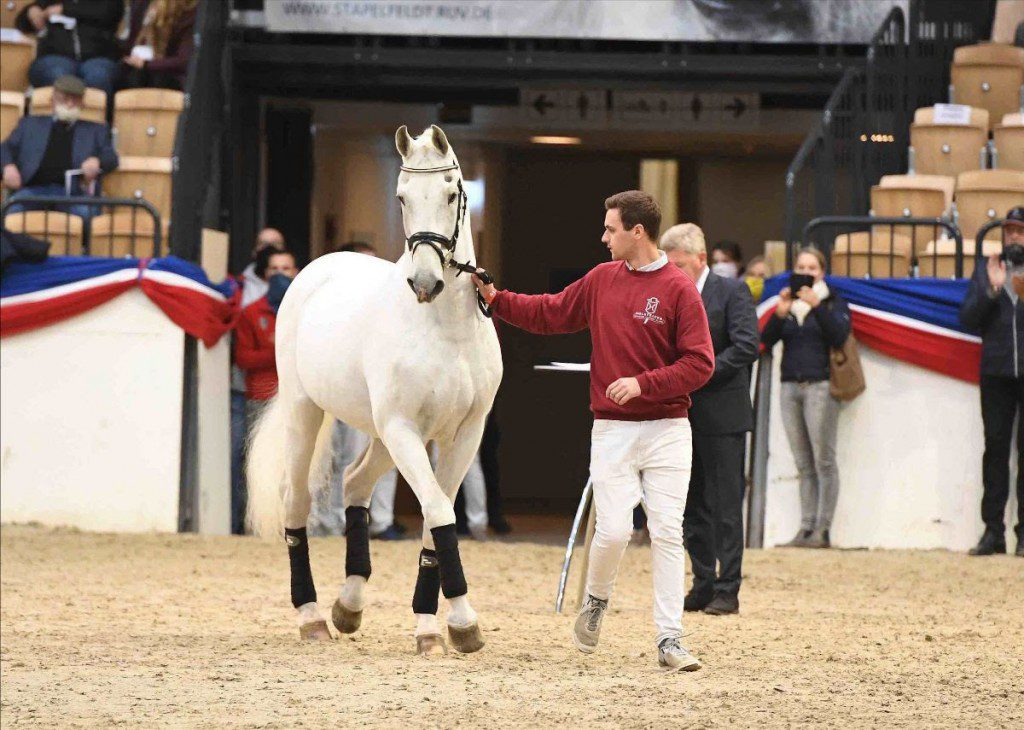 Calido I von Cantus war putzmunterer Besucher bei der Holsteiner Körung Ende Oktober 2020 anläßlich der Verabschiedung von Zuchtleiter Dr. Thomas Nissen. (Foto: Janne Bugtrup)