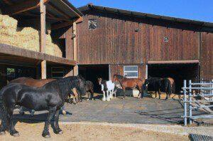 Mit der Aktion «Der Gute Stall» werden gute Haltungsformen wie im Bild in Büttenhardt sichtbar gemacht – ob Gruppen- oder Boxenhaltung, ein hohes Wohlbefinden der Pferde und Ponys ist oberstes Gebot.