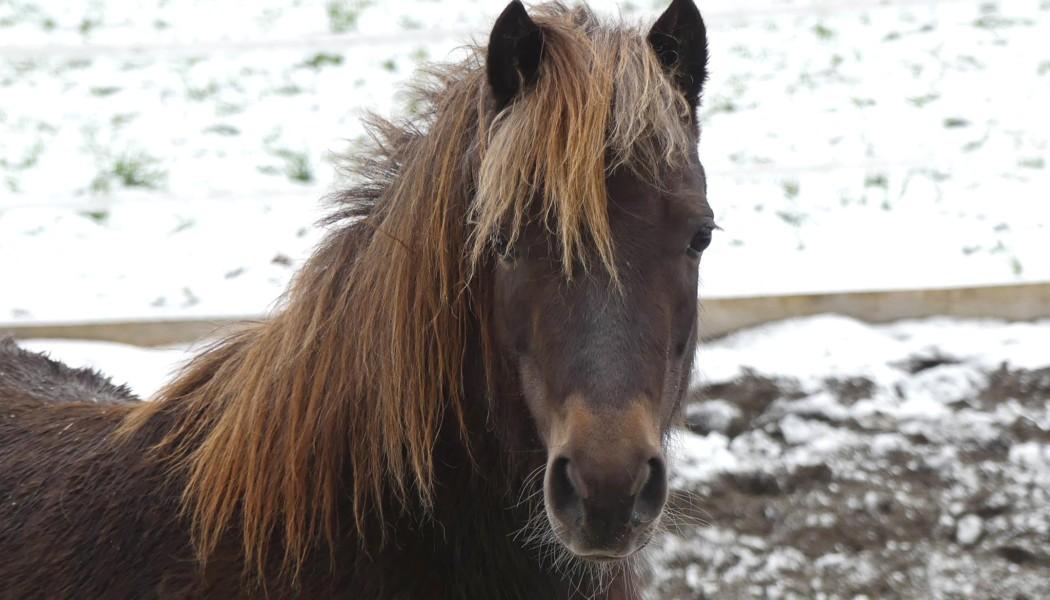 Hamira, Deutsche Classic Pony, geboren am 24.04.2011, gestorben am 19.01.2018